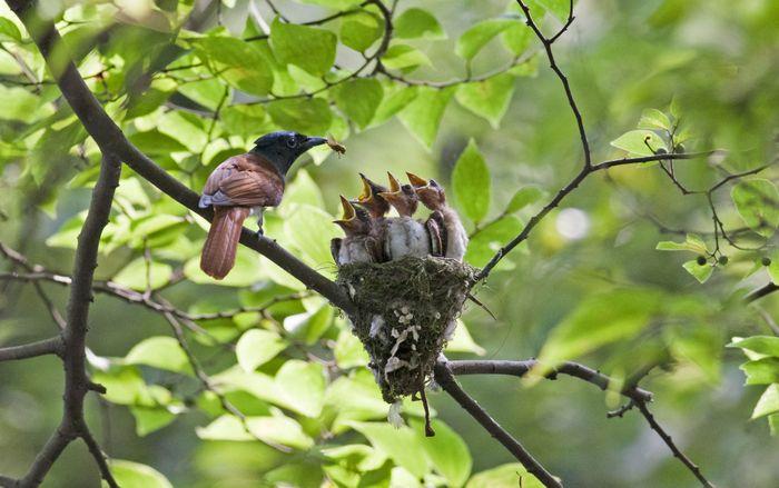 An Asian paradise flycatcher feeds its chicks.