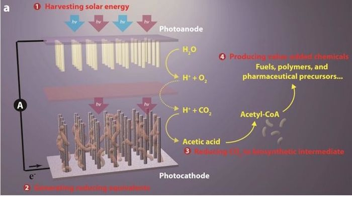 Breakthrough artificial photosynthesis systems has four components: (1) harvesting solar energy, (2) generating reducing equivalents, (3) reducing CO2 to biosynthetic intermediates, and (4) producing value-added chemicals.