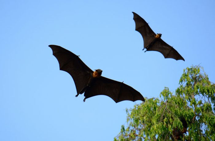 A foraging bat and his wingman hunt for food