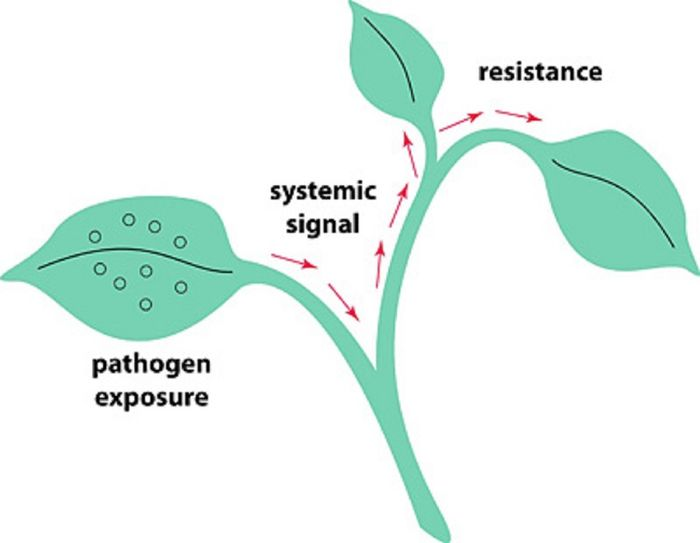 By studying how plants respond to plant pathogens, we may understand how human pathogens interact with plants as well.