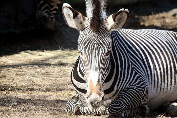 Zebras are among 74 declining species studied. The decline of these animals puts more landscapes in danger than previously known.