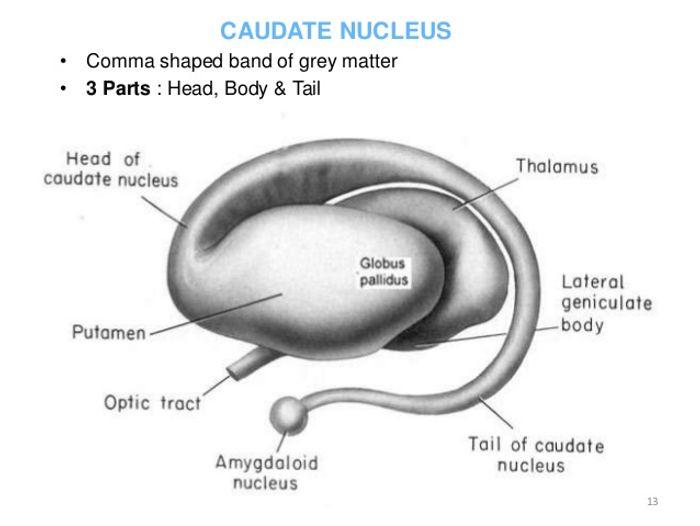The anatomy of the caudate nucleus.