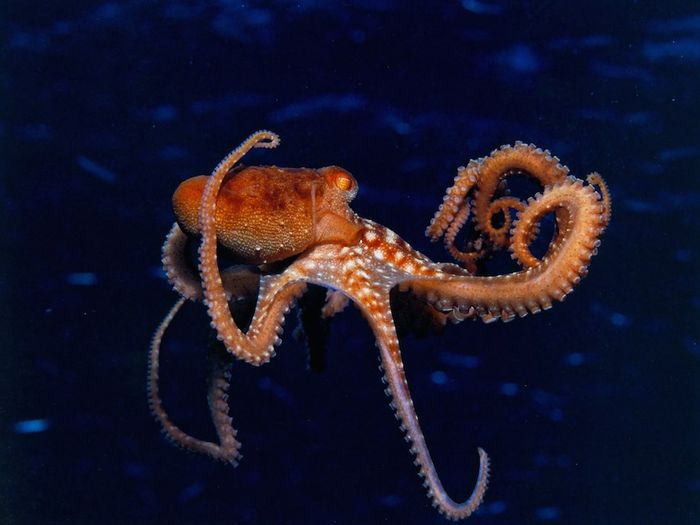 The orientation of an octopus' body and crawling direction are independently controlled, and its crawling lacks any apparent rhythmical patterns in limb coordination.