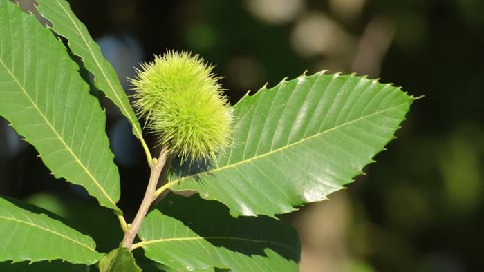 Chestnut leaf extracts attenuate MRSA.