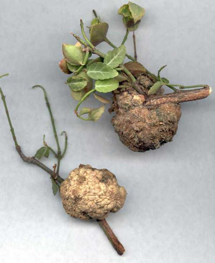 Galls form on stems and roots of infected plants.