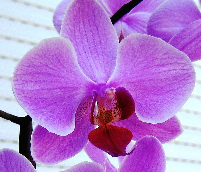 A phalaenopsis orchid in bright purple tones