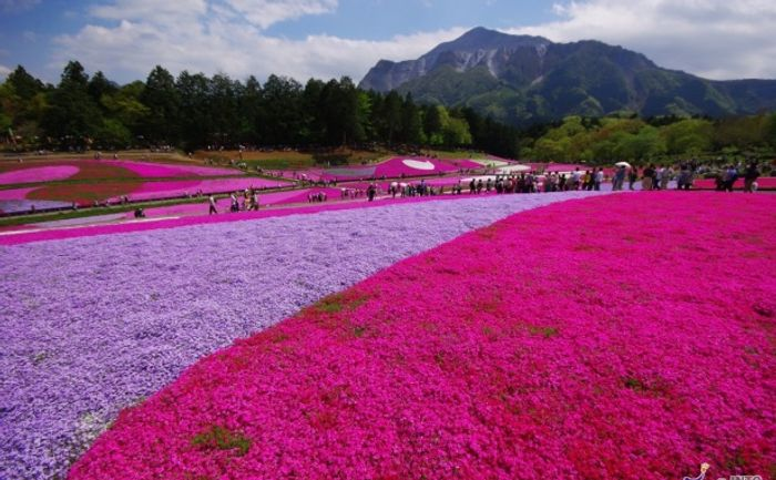 Stunning phlox in bloom in Japan for Golden Week