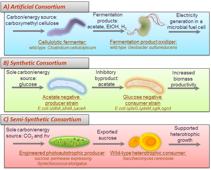 Microbial consortia are described as assemblages of different species of microbes in physical as well as biochemical contact with one another.