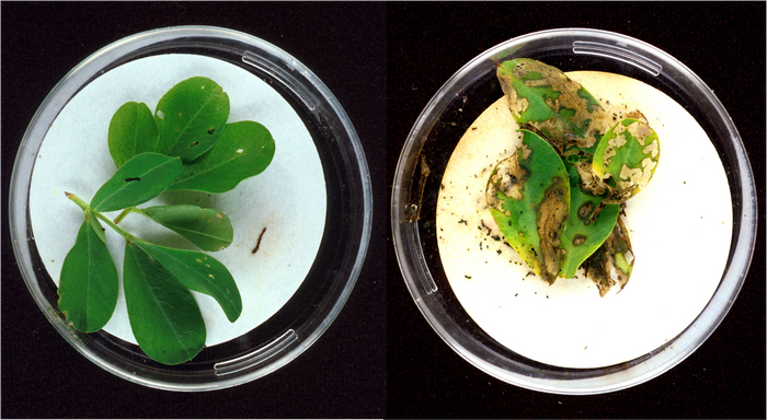Bt-engineered peanut plants (left) are resistant to insects