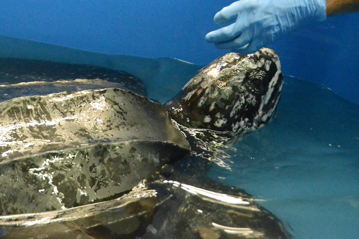 A helping hand to a rare leatherback turtle rescued in South Carolina