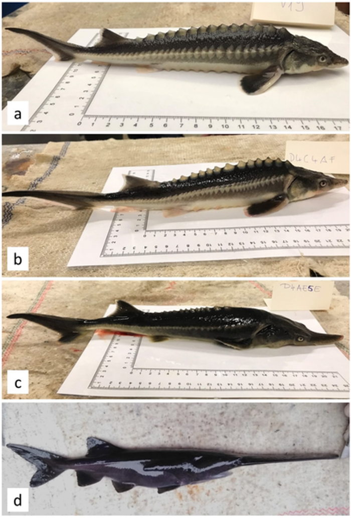 (a) Yearlings of A. gueldenstaedtii and (b) their hybrids: (c) typical LH hybrid, (d) typical SH hybrid of P. spathula. Credit: Káldy et al, Genes 2020