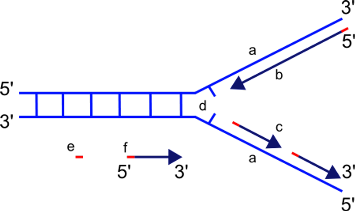 DNA replication fork structure