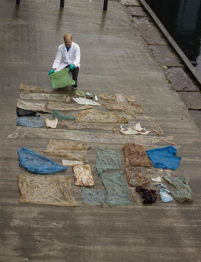 The numerous plastic bags that were pulled from the euthanized whale's stomach.