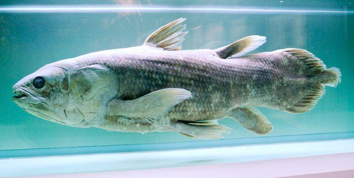 Coelacanth specimen / Image credit: cropped from Flickr -  smerikal