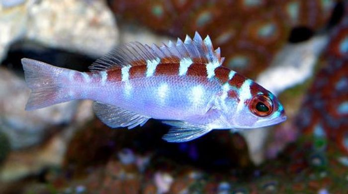 Chalk bass switch between male and female up to 20x daily.