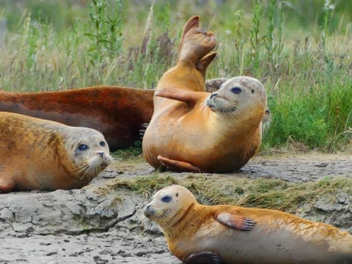 Seals in Essex have turned orange, and experts elaborate on why.