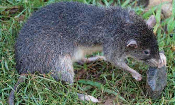 Giant rat discovered on Manus Island.