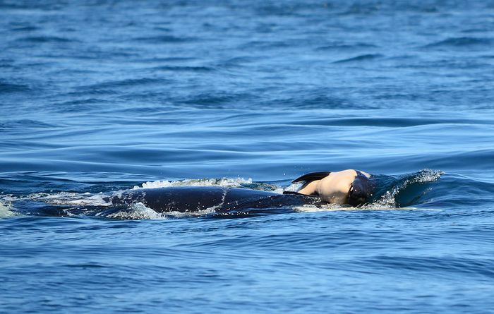 An orca swims with her deceased calf in the Pacific Ocean.
