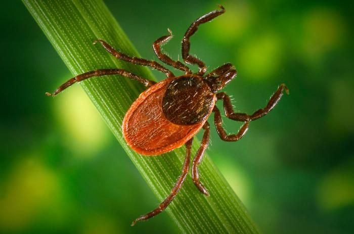 Blacklegged tick, Ixodes pacificus, a known vector for the zoonotic bacteria, Borrelia burgdorferi, which causes Lyme disease.  / Credit: CDC/ James Gathany; William L. Nicholson, Ph.D.
