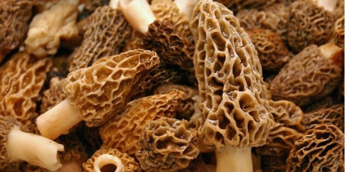 Pan-fried Morel Mushrooms