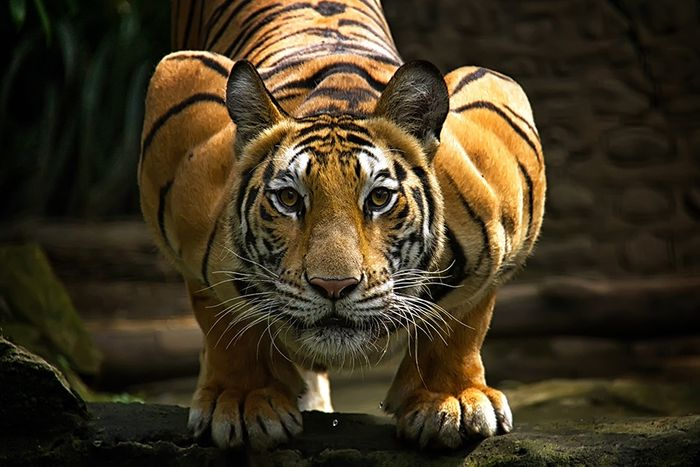 Tiger populations may be rebounding in Nepal for the first time.