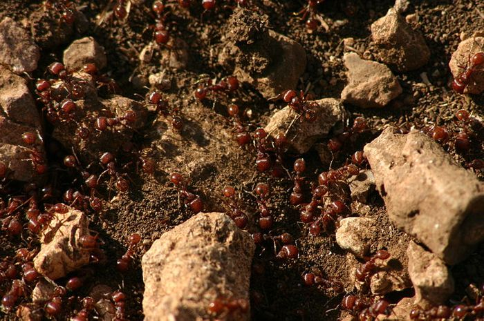 Fire ants (Solenopsis invicta) on the hill-top of West Trail, Lost Maples State Natural Area, Texas. Credit: Wing-Chi Poon