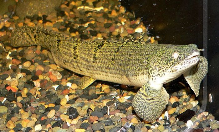 A Polypterus weeksii (mottled bichir) at the Steinhart Aquarium in San Francisco / Credit: Wikimedia Commons CC3.0 Stan Shebs