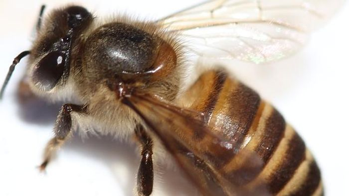 The Africanized killer bee has been spotted in California's Bay Area.