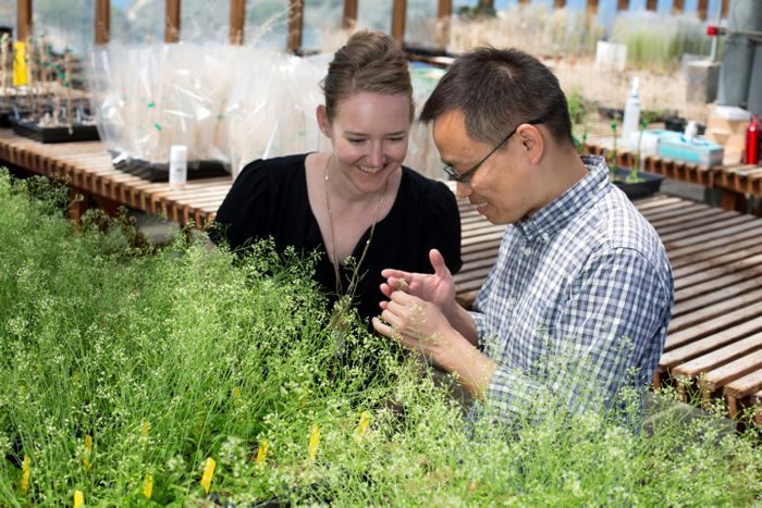 Salk Assistant Professor Julie Law and Research Associate Ming Zhou, pictured with their Arabidopsis thaliana plants in a Salk greenhouse. / Credit: Salk Institute