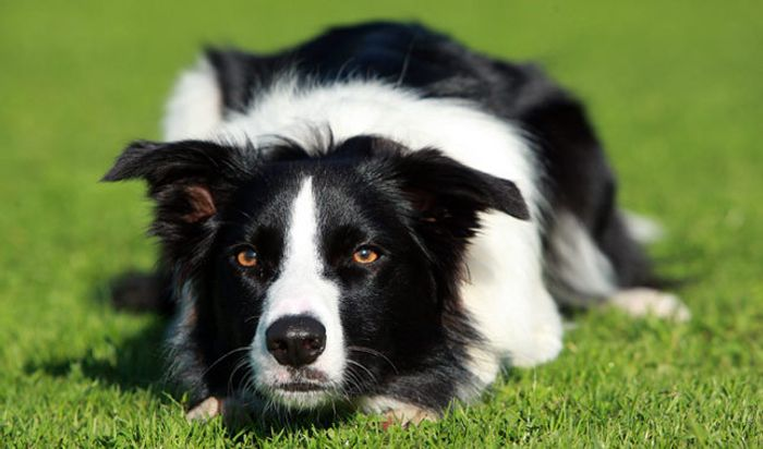Are border collies more impulsive than labrador retrievers?