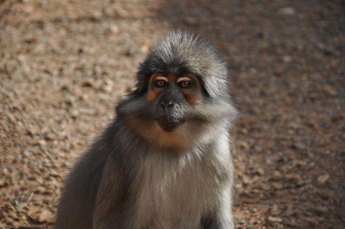 A sooty mangabey. Credit: Yerkes National Primate Research Center, Emory University