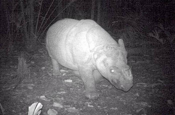 A night vision photograph of a Javan Rhino.