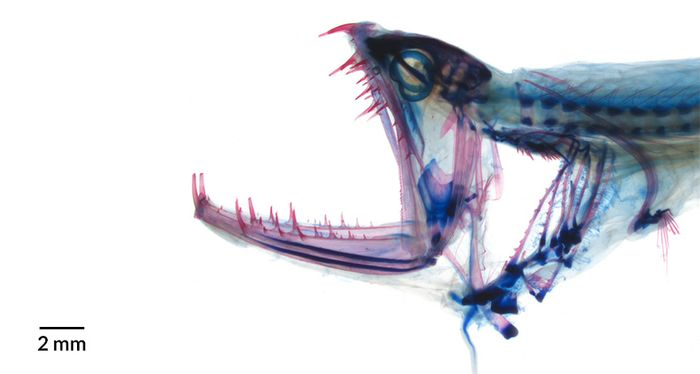 The dragonfish has a special joint in their heads that allows for extension for the jaw to open.