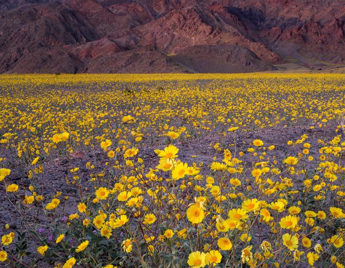 Death Valley National Park is being overrun by beautiful wildflowers... but it won't last long.
