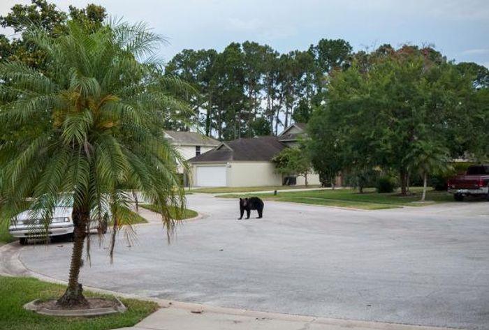 A black bear on a residential street in Daytona Beach, Florida.
