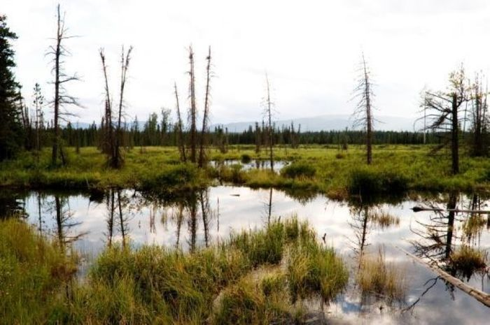 Black spruce put peat bogs at greater risk of fire. Photo: Science Daily