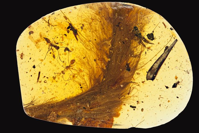 "This is the amber fossil that contains the ""dinosaur tail"" with the prehistoric plumage."