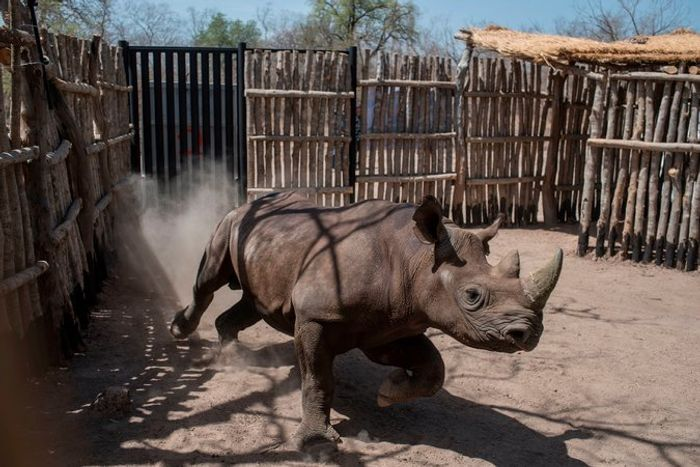 A black rhino runs around inside of his pen in Chad.