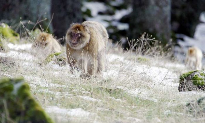 Male macaques are found to regulate their own metabolisms based on the environment around them.