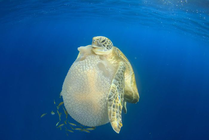 A sea turtle grabbing a jellyfish.