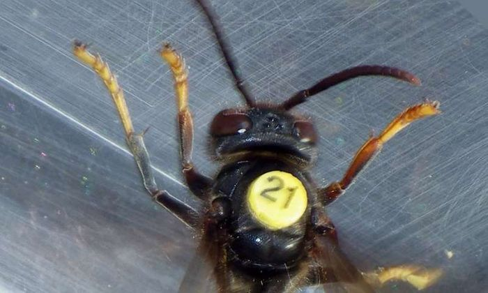 An Asian hornet outfitted with one of the small radio tags.