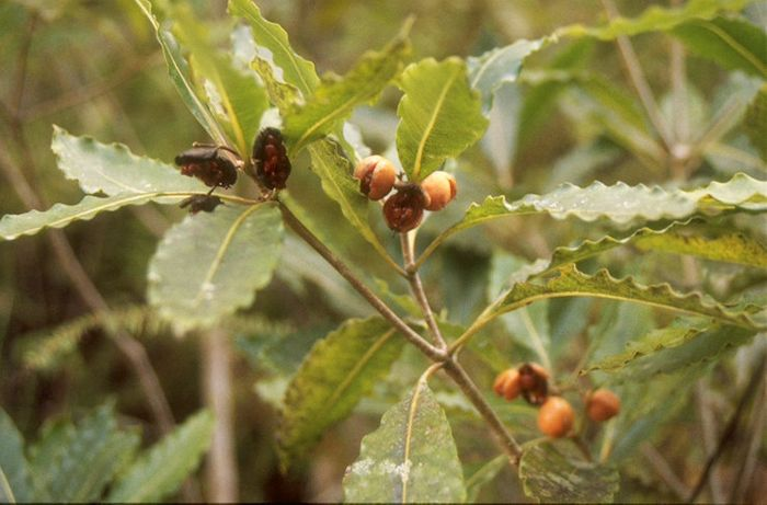 "A close-up of the mock orange tree's ""mock"" oranges."