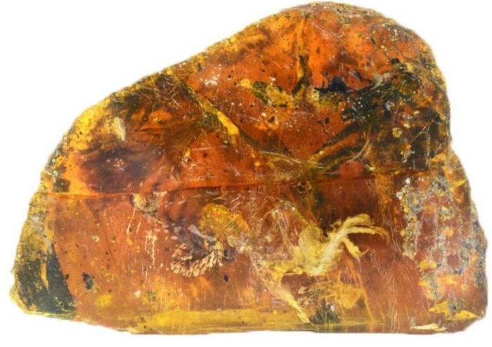 Belone is almost perfectly-preserved inside of this small fragment of amber.