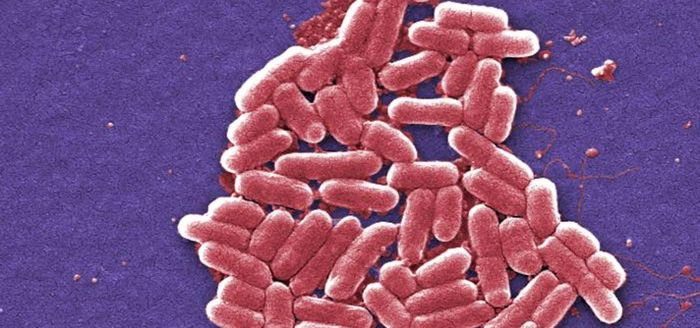 An SEM image of E. coli, a gut microbe. / Credit: CDC/ National Escherichia, Shigella, Vibrio Reference Unit at CDC