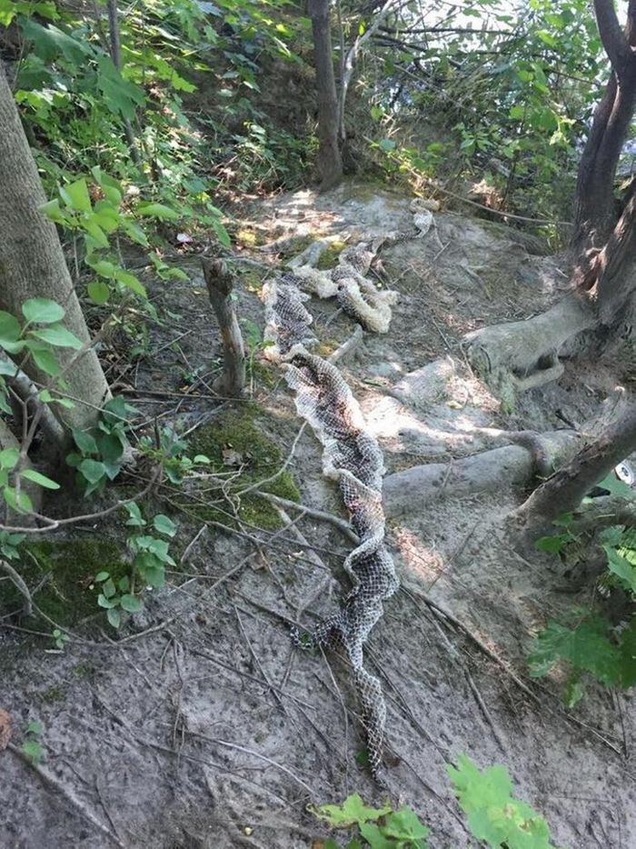 A massive snake skin was discovered near Main's Presumpscot River this weekend.