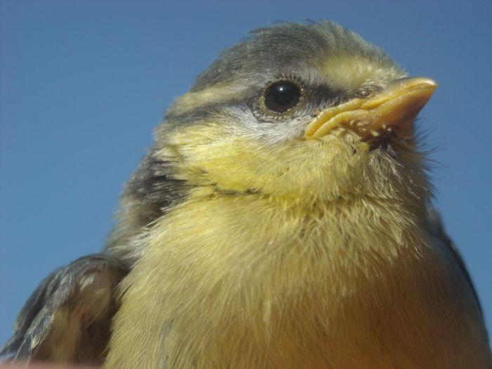 Female tits deal with life-threatening danger from predators by singing.