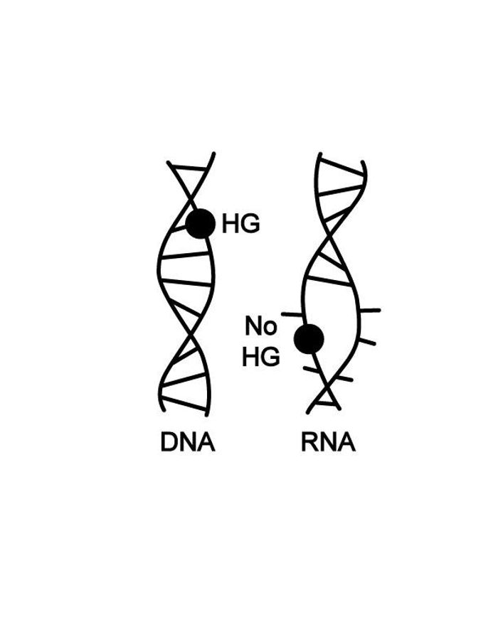 The DNA double helix can contort into different shapes to absorb chemical damage to the basic building blocks (A, G, C and T, depicted by black dot) of genetic code. An RNA double helix is so rigid and unyielding that rather than accommodating damaged bases, it falls apart completely.