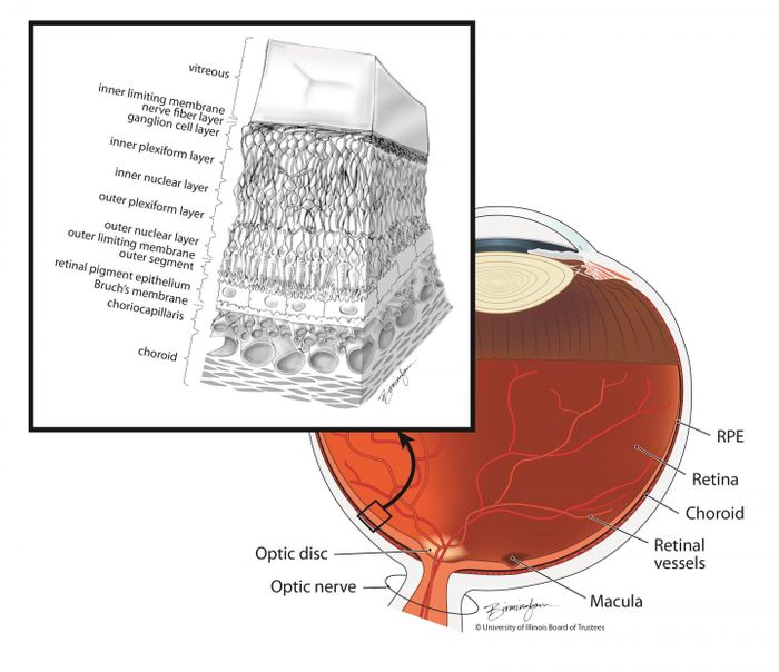The layers of the retina include the RPE. / Illustration: Lisa Birmingham