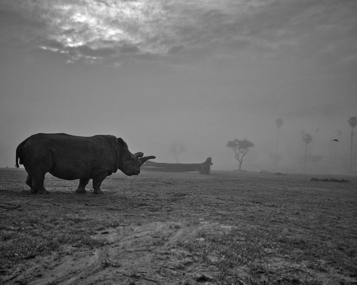 Nola was one of the world's last remaining white rhinos. She passed away in November of 2015.