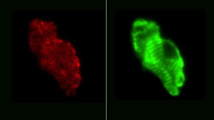 A team of scientists have created a temporal and spatial atlas of the developing mouse heart. Source: Harvard Medical School